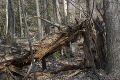Gebroken boom in het de lentebos royalty-vrije stock afbeelding
