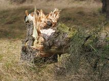 Gebroken boom in het meest forrest Royalty-vrije Stock Foto's