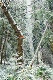 Gebroken boom in pijnboombos Stock Foto's