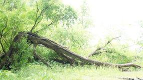 Gebroken boomboomstammen ter plaatse Stock Foto