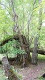 Gebroken boomboomstammen ter plaatse Royalty-vrije Stock Foto