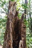 Gebroken boomonderbreking door holle binnenkant in het bos in Kew Mae Pan Mountain Ridge in Chiang Mai, Thailand Royalty-vrije Stock Afbeelding