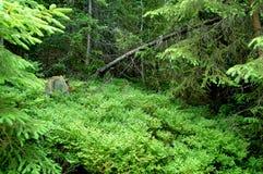 Gebroken boomstammen van bomen in een bergbos Royalty-vrije Stock Fotografie