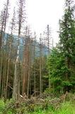 Gebroken boomstammen van bomen in een bergbos Royalty-vrije Stock Foto's