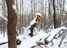 Gebroken die boom als fabelachtige Draak in bos wordt gevormd royalty-vrije stock afbeelding