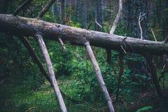 Gebroken dode pijnboomboom in het bos in Spanje stock afbeelding