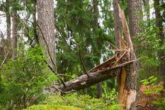 Gebroken nette boom in bos Stock Foto
