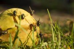 Gebroken peer met onzelieveheersbeestje en houten achtergrond Stock Foto