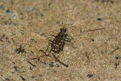 Gebronst Tiger Beetle stock foto's