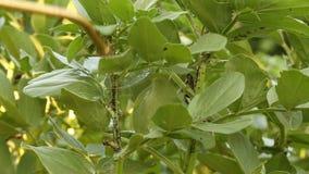 Gebruikend bijtende potasoplossing om boongewassen te behandelen besmet door zwarte boon aphids in privé tuin stock footage