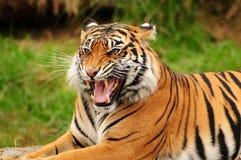 Gebrul van een tijger stock afbeelding