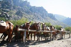 Gebundene oben Pferde über Gebirgshintergrund Stockfoto
