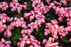 Gebundene weiße rosafarbene Begonie Stockfotos