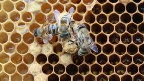 Geburt der Bienenkönigin stock video footage