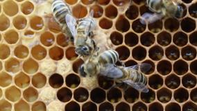 Geburt der Bienenkönigin stock footage
