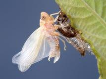 Geburt einer Zikade (2) Lizenzfreie Stockfotografie