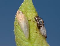 Geburt einer Zikade (3) Stockfotografie
