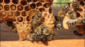 Geburt von Bienenköniginnen stock footage