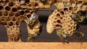 Geburt von Bienenköniginnen stock video footage