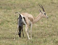 Geburt von eines Grants Gazelle Lizenzfreie Stockfotografie
