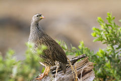 Geburts- francolin in Nationalpark Kruger Stockbild