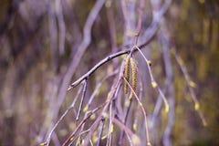 Geburtsbaumzweig mit Weidenkätzchen Lizenzfreie Stockfotografie