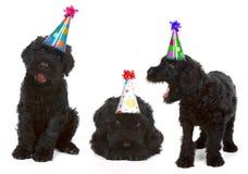 Geburtstags-schwarze russische Terrier Stockfotos