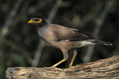 Gebürtiges Myna Stockfotos
