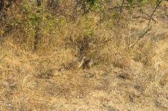 Gecamoufleerd Grey Francolins in het Nationale Park van Kruger stock fotografie