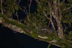 Gecamoufleerd krab-Etend Wasbeer bij Nacht op Boom stock foto's
