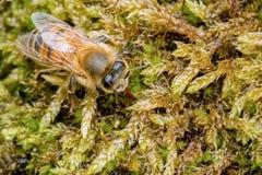 Gecamoufleerd Westelijk Honey Bee die op groen gebladerte in een tuin rusten stock fotografie