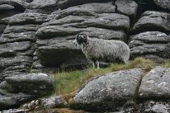 Gecamoufleerde schapen Royalty-vrije Stock Foto