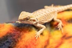 Geckoödla på torkduken fotografering för bildbyråer