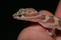 Gecko à disposition Image stock