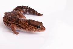 Gecko à queue adipeuse photographie stock libre de droits