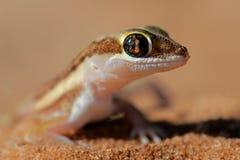 Gecko à terra de Kalahari fotografia de stock royalty free
