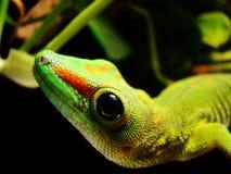 gecko γιγαντιαία Μαδαγασκάρη & Στοκ Εικόνες