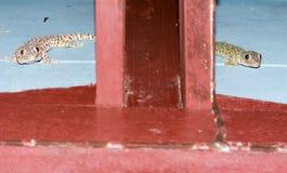 Gecko δύο στον τοίχο στα μεσάνυχτα στοκ εικόνα