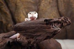 Gecko λεοπαρδάλεων στοκ εικόνες