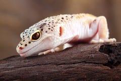 Gecko λεοπαρδάλεων στοκ εικόνα