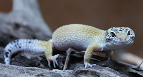 Gecko λεοπαρδάλεων στοκ φωτογραφία