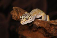 Gecko λεοπαρδάλεων Στοκ εικόνες με δικαίωμα ελεύθερης χρήσης