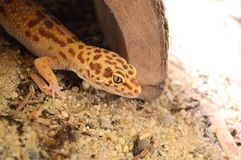 Gecko λεοπαρδάλεων Στοκ φωτογραφία με δικαίωμα ελεύθερης χρήσης