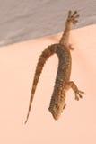Gecko ζογκλέρ Στοκ Εικόνες