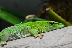 Gecko ημέρας της Μαδαγασκάρης στοκ φωτογραφία