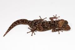 Gecko νύχτας Στοκ Εικόνες