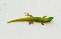 gecko πράσινο Στοκ Εικόνες