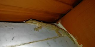 Gecko σε μια γωνία στοκ εικόνες