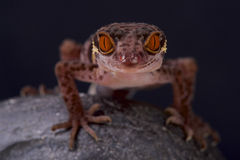 Gecko σπηλιών/hainensis Goniurosaurus Στοκ εικόνα με δικαίωμα ελεύθερης χρήσης