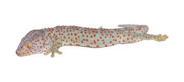 Gecko στο άσπρο υπόβαθρο Στοκ Εικόνες